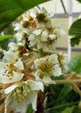 Florece el loquat Foto de archivo libre de regalías
