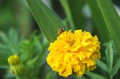 Florece el prado verde de la miel de la naturaleza salvaje Fotografía de archivo