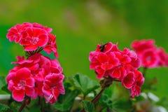 Florece geranios rojos Foto de archivo