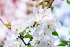 Florece la abeja de la manzana Fotografía de archivo