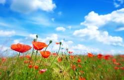 Florece la amapola en un fondo del cielo azul Imagen de archivo