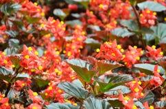 Florece la begonia La begonia es una flor de la belleza extraordinaria Imagen de archivo libre de regalías