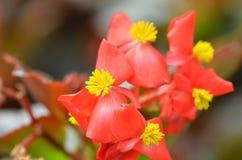 Florece la begonia La begonia es una flor de la belleza extraordinaria Imagen de archivo