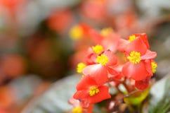 Florece la begonia La begonia es una flor de la belleza extraordinaria Fotos de archivo