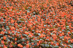 Florece la begonia La begonia es una flor de la belleza extraordinaria Fotos de archivo libres de regalías
