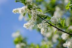Florece la cereza de pájaro Fotografía de archivo libre de regalías