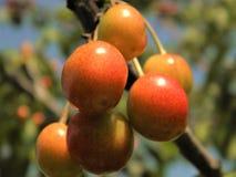 Florece la cereza madura de la naturaleza de las plantas macras de la fotografía Imagen de archivo