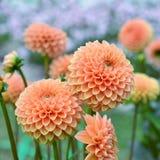 Florece la dalia anaranjada Foto de archivo