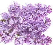Florece la lila Imágenes de archivo libres de regalías
