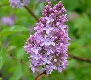 Florece la lila Foto de archivo