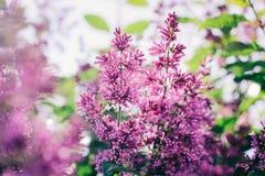 Florece la lila foto de archivo libre de regalías