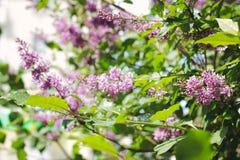 Florece la lila fotos de archivo