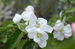 Florece la manzana Fotografía de archivo