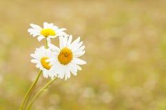 Florece la manzanilla contra fondo amarillo borroso Imágenes de archivo libres de regalías