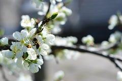 Florece la pera Fotos de archivo