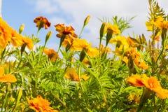 Florece las maravillas (Tagetes) en fondo del cielo azul Imagenes de archivo