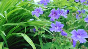 Florece las petunias púrpuras aisladas en fondo verde Tarjeta de las flores Fotos de archivo