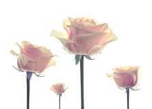 Florece las rosas aisladas Imagenes de archivo