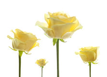 Florece las rosas aisladas Fotografía de archivo