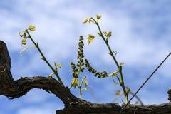 Florece las uvas en los jóvenes de la vid Fotografía de archivo