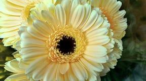 Florece los amarillos del bloomig de la naturaleza hermosos Fotografía de archivo libre de regalías