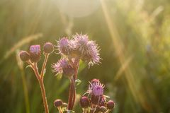 Florece los cardos iluminados por el sol en la puesta del sol imágenes de archivo libres de regalías