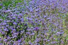 Florece los feelds púrpuras en el día del sol Imagenes de archivo