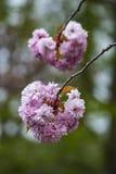 Florece los flores del rosa de la primavera de Sakura Fotografía de archivo libre de regalías