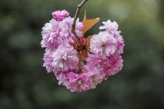 Florece los flores del rosa de la primavera de Sakura Fotografía de archivo