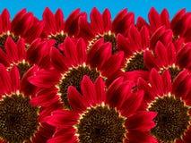 Florece los girasoles Imagen de archivo libre de regalías
