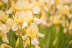 Florece los iris amarillos en el jardín de la primavera Fotos de archivo libres de regalías