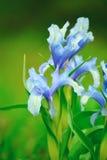 Florece los iris de la lila fotografía de archivo