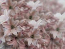 Florece los jacintos rojos claros en fondo borroso ramo luz-rosado-rojo de flores collage floral Composición de la flor Fotos de archivo