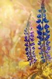 Florece lupine Foto de archivo