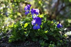 Florece pensamientos entre los arbustos en el macizo de flores imagen de archivo