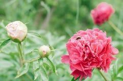 Florece peonías contra fondo verde borroso Foto de archivo libre de regalías