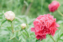 Florece peonías contra fondo verde borroso Imagenes de archivo