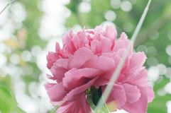 Florece peonías contra fondo verde borroso Fotografía de archivo