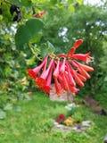 Florece rojo Imagen de archivo