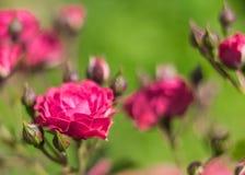 Florece rosas en el jardín. Imagen de archivo