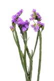 Florece sinuatum del limonium Fotografía de archivo