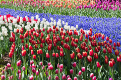 Florece tulipanes en el parque de Keukenhof holanda Fotografía de archivo libre de regalías