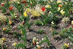 Florece tulipanes en la primavera en el macizo de flores Fotografía de archivo