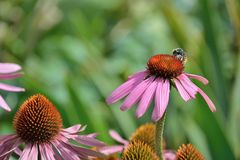 Florece una abeja ocupada Imagen de archivo