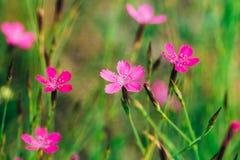 Floreciendo en claveles del prado de los Wildflowers de la hierba verde, clavel fotos de archivo