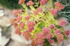Floreciendo en un claro alpino del rosa de la colina, visión superior Fotos de archivo libres de regalías