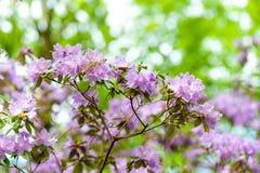 Floreciendo, púrpura agraciada Imagen de archivo libre de regalías