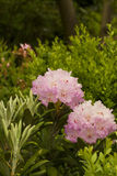 Floreciendo, rosa del rododendro Fotos de archivo