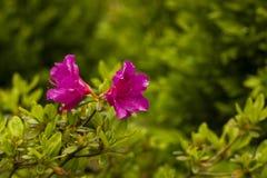 Floreciendo, rosa del rododendro Foto de archivo libre de regalías