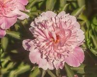 ` Floreciente de Coral Pink del ` del Paeonia Fotos de archivo